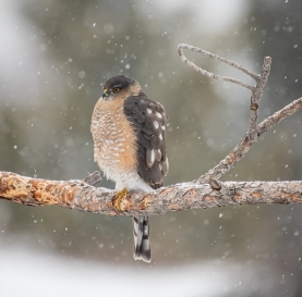 Sharp-shinned Hawk watches over the bird feeders