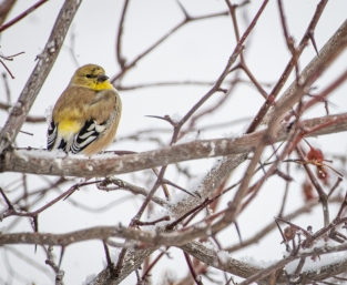 American Goldfinch showing some bright yellow feathers already