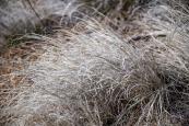 bunch grass