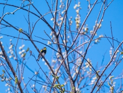 I had to search for this singing Yellow-rumped Warbler high in the cottonwood trees