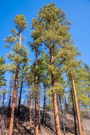 Beautiful ponderosa pines