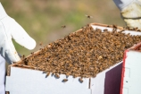 New bees arrive in a cardboard box with five frames