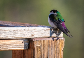 Violet-green Swallow