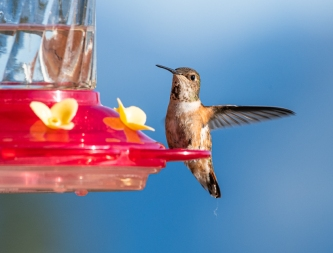 female Rufus Hummingbird