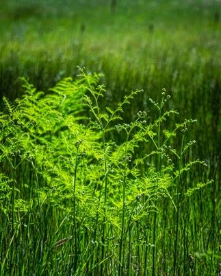 more fern