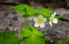 I think these are thimbleberry blossoms