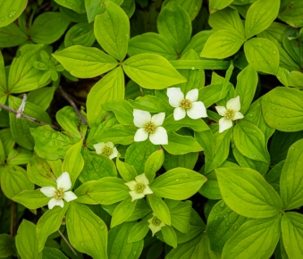 western bunchberry