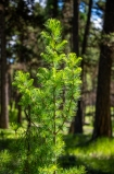 Young western larch tree