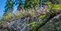 Penstemon growing out of a rock