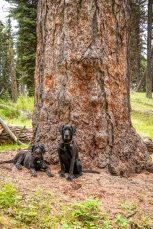 dogs with 900 year-old larch