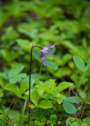 The only fairyslipper orchid that I found