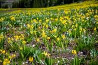 Many glacier lilies