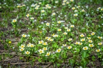 many anemones