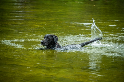 Happy dog, swimming around, wagging her tail.