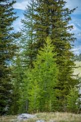 alpine larch still wearing its spring green