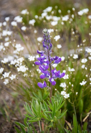 lupine and saxifrage