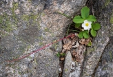 wild strawberry growing out of a rock and trying to start a new plant