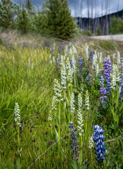 Bog orchids and lupine growing along the road