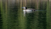Common Loon, probably in its second year.