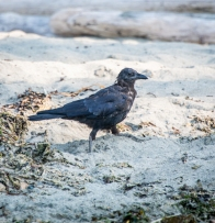 Mangy looking crow on the beach