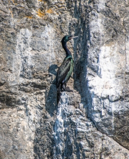 Pelagic Cormorants cling to cliff faces