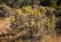Sagebrush taller than me