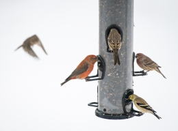 Three different kinds of finches at the feeder