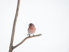Normally colored House Finch